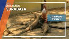 Prosesi Makan Anak Komodo Kebun Binatang Surabaya