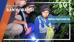 Berburu Kopi Luwak Liar, Banyuwangi