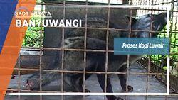 Proses Kopi Luwak, Banyuwangi