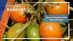 Tomat Tanaman Tak Kenal Musim Bandung