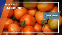 Panen Tomat Bandung