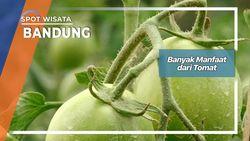 Manfaat Dari Tomat Bandung