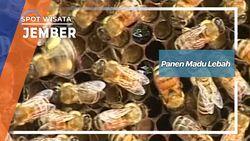 Panen Madu Lebah Sukorambi Jember Jawa Timur