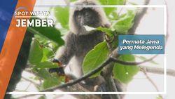 Primata Jawa yang Melegenda, Jember