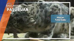 Macan Tutul Salju, Bogor