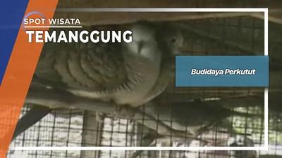 Budidaya Perkutut, Temanggung