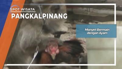 Monyet Bermain dengan Ayam Pangkalpinang