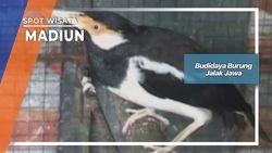 Budidaya Menggiurkan Burung Jalak Jawa