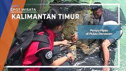 Penyu Hijau di Pulau Derawan Kalimantan Timur