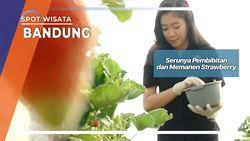 Serunya Pembibitan dan Memanen Strawberry Bandung