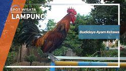 Budidaya Ayam Ketawa Lampung