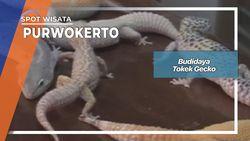 Budidaya Tokek Gecko Purwokerto