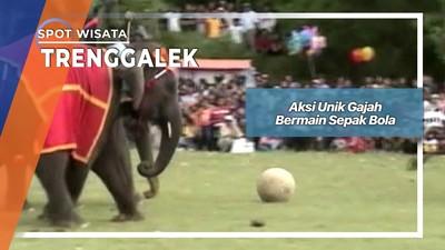 Aksi Unik Gajah Bermain Sepak Bola, Trenggalek