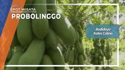 Budidaya Kates Calina, Probolinggo