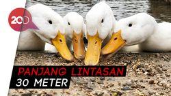 Serunya Lihat Bebek-bebek Adu Cepat di Temanggung