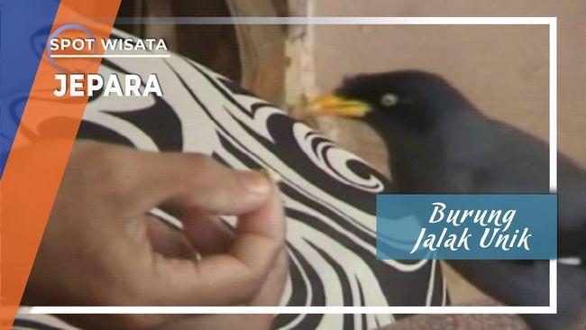 Burung Jalak Unik Desa Kuwasen Jepara