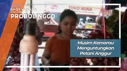 Manisnya Anggur Probolinggo Di Desa Banjarsari Sumberasih JawaTimur