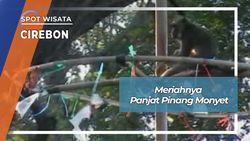 Meriahnya Panjat Pinang Kera Di Petilasan Sunan Kalijaga Cirebon
