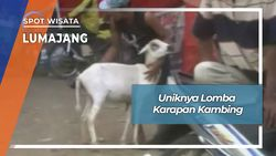 Karapan Kambing Berhadiah Sapi Desa Jatirejo Kunir Lumajang