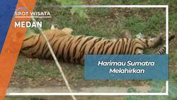 Anak Harimau Sumatra Di Medan