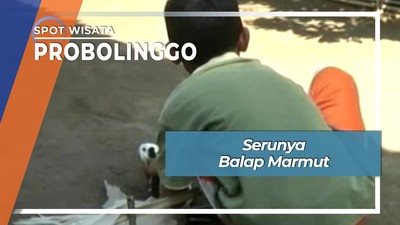 Serunya Balap Marmut Ala Probolinggo Jawa Timur