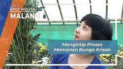 Mengintip Panen Bunga Krisan Malang Jawa Timur
