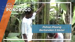 Pohon Pisang Bertranden 2 Meter, Ponorogo