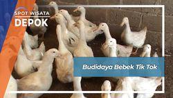 Budidaya Bebek Tik Tok, Depok