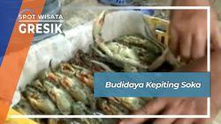 Budidaya Kepiting Soka, Gresik
