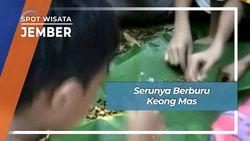 Seru Asyik Berburu Keong Mas di Kebonsari Sumbersari Jember