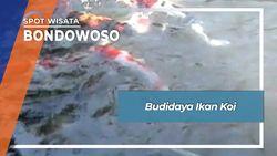 Budidaya Ikan Koi, Bondowoso