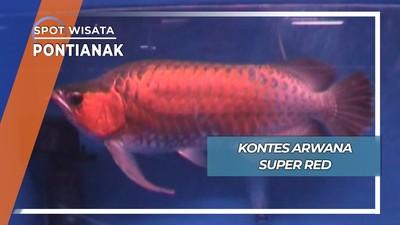 Adu Cantik Ikan Arwana, Pontianak