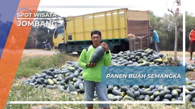 Panen Semangka Inul, Petik Untung Warga Desa Pacarpeluk Megaluh Jombang