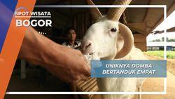 Kujang, Sang Domba Kesayangan Bertanduk Empat Yang Gemar Krupuk Bogor