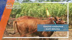 Sapi Brujul, Tradisi Karapan Desa Grunting Pademangan Probolinggo