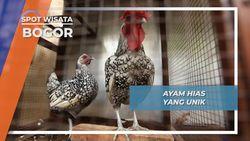Ayam Hias Peliharaan Andalan Bogor
