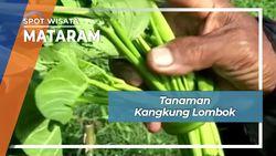 Bercocok Tanam Kangkung Lombok Nusa Tenggara
