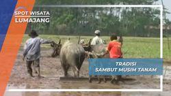 Karapan Kerbau Petani Lumajang, Tradisi Untuk Kesuburan Lahan Tani