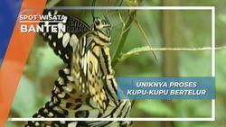 Budidaya Kupu-kupu Banten Bertelur di Pulau Umang