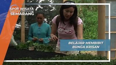 Belajar Membibit Bunga Krisan, Semarang