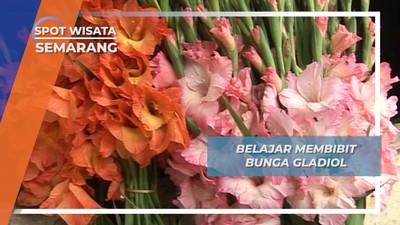 Belajar Membibit Bunga Gladiol, Semarang