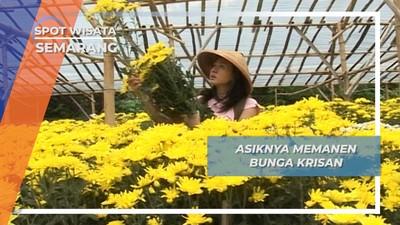 Panen Bunga Krisan, Petik Cantik ala Bandungan Semarang