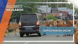 Sapi Berkeliling di Tengah Jalan Meulaboh Aceh