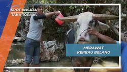 Kerbau Belang, Korban Upacara Pemakaman Yang Harganya Selangit di Tana Toraja