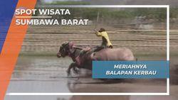 Barapan Kerbau, Pacu Kerbau di Sawah Berlumpur Sumbawa Barat Nusa Tenggara Barat