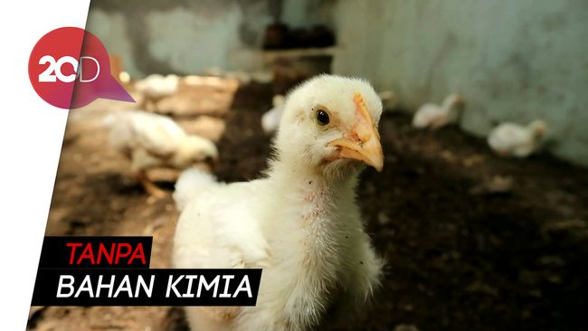 Budidaya Ayam Organik dengan Memanfaatkan Limbah Rumah Tangga