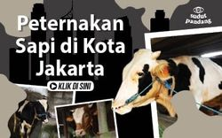 Ternak Sapi di Tengah Padatnya Permukiman Jakarta