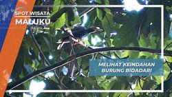 Melihat Keindahan Burung Bidadari, Maluku