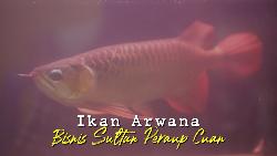 Bisnis ikan Arwana, Ikan Sultan Penghasil Cuan