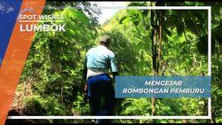 Tanaman Beracun, Rintangan Dalam Berburu Babi Hutan, Lumbok
